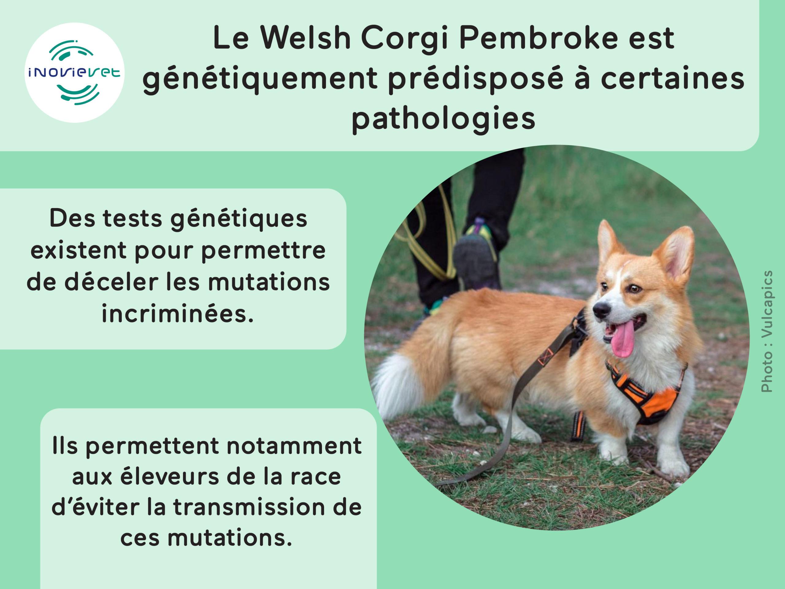 Prédispositions du welsh corgi pembroke